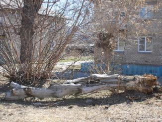 Засохшее дерево во дворе дома 41, ул. Ломоносова